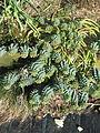 Euphorbia myrsinites reddish form (12745086223).jpg