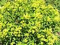 Euphorbia salicifolia3.JPG