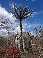 Euphorbia sp.7 - Mt. Yokolo (10003630494).jpg
