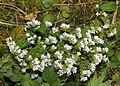 Euphrasia insignis subsp. iinumae.JPG