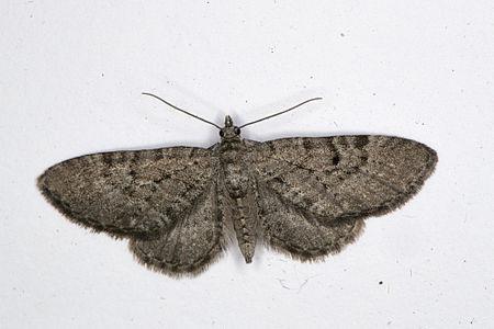 Eupithecia intricata, Lodz(Poland)01(js).jpg