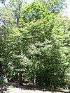European hornbeam full tree