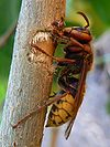 European hornet lateral view.jpg
