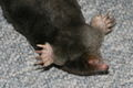 European mole detail of muzzle and paws.jpg