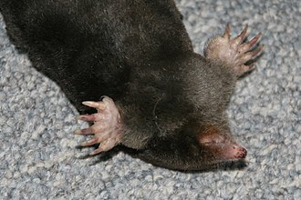 Fossorial - Image: European mole detail of muzzle and paws