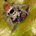 Evarcha falcata - Springspinne mit Beute 4262.JPG
