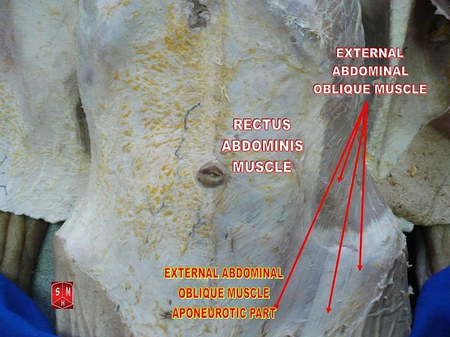 Fileexternal Abdominal Oblique Muscle Aponeurotic Partg