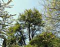 Fächerblattbaum (Ginkgo) in Lüneburg.jpg