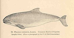 FMIB 34108 Phoaena communis, Lesson Common Harbor Porpoise.jpeg