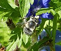 Faded Anthophora species - Flickr - gailhampshire.jpg