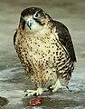 Falco pelegrinoides captive2.jpg