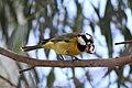 Falcunculus frontatus -Royal Botanic Gardens, Cranbourne, Australia-8 (2).jpg