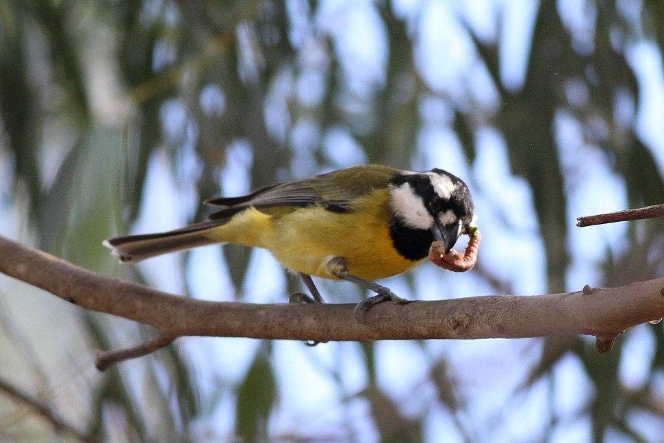 Falcunculus frontatus -Royal Botanic Gardens, Cranbourne, Australia-8 (2)