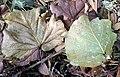 Fallen leaf 02.jpg