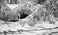 Fallen tree limbs in Riverdale, Whitehorse, Yukon (15401092126).jpg