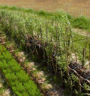 Soil retrogression and degradation - Willow hedge strengthened with fascines for the limitation of runoff, north of France.