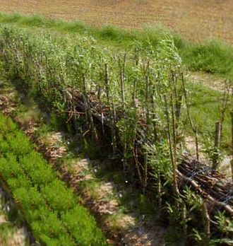 Soil retrogression and degradation - Willow hedge strengthened with fascines for the limitation of runoff, northern France