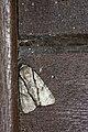Fascionycta fasciata (42116606184).jpg