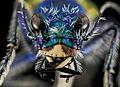 Festive Tiger Beetle, face, Badlands,Pennington Co, SD 2013-12-31-13.21.39 ZS PMax (11675053206).jpg