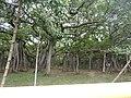 Ficus benghalensis-3-AJCBIBG-howrah-India.jpg