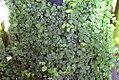 Ficus pumila 0zz.jpg
