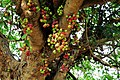 Ficus racemosa Panna TR IMG 3319.jpg