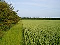 Field of wheat on Fulbourn Fen - geograph.org.uk - 188853.jpg