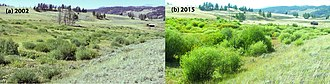 Keystone species - Riparian willow recovery at Blacktail Creek, Yellowstone National Park, after reintroduction of wolves