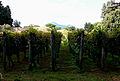 Filari di uva nei giardini di foro boario.JPG