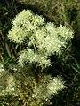 Filipendula ulmaria sl13.jpg