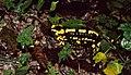 Fire Salamanders (Salamandra salamandra) mating ... (35735771783).jpg