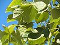 Firmiana simplex Hojas 2010-10-26 ArboretoParqueElPilarCiudadReal.jpg