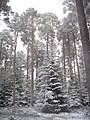 Firs and pines - geograph.org.uk - 419519.jpg