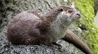 Otter subfamily of mammals
