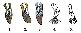 Evolution of fish - Comparison between the fins of lobe-finned fishes and the legs of early tetrapods: 1. Tiktaalik 2. Panderichthys 3. Eusthenopteron 4. Acanthostega 5. Ichthyostega (hindleg)