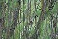 Fitis in einem Weidengebüsch im Bachlauf der Harste im Landschaftsschutzgebiet Weserbergland - Kaufunger Wald.jpg