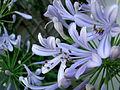 Fleur d'Agapanthe (Agapanthus praecox ).JPG
