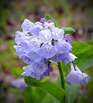 Mertensia - Mertensia virginica (type species)