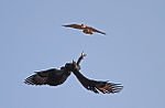 Flickr - Rainbirder - The aerial duel at dawn^ (View on large).jpg