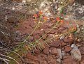 Flickr - brewbooks - Castilleja linariifolia (13).jpg