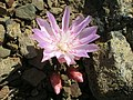 Flickr - brewbooks - Lewisia rediviva on Tronsen Ridge (7).jpg