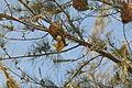 Flickr - fr.zil - Oiseau tisserand (mâle) (1).jpg