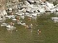 Flock of Aix galericulata in Shonai River - 1.jpg