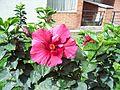 Flor de Cayeno.JPG