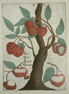 Lychee - Wikipedia