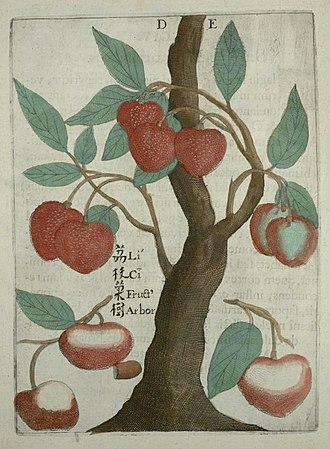 Flora Sinensis - Drawing of a lychee, in Boym's Flora Sinensis