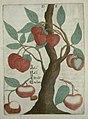 Flora Sinensis - Lychee.JPG