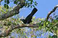Flores Crow (Corvus florensis) (8074132731).jpg