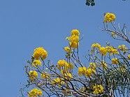 Flores de ipê-amarelo.jpg