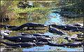 Florida alligator (8495693821).jpg